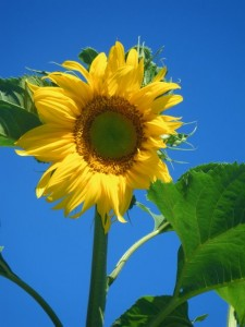 Edible Plants include the Giant Sunflower