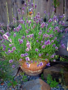 lavender in the Edible landscape