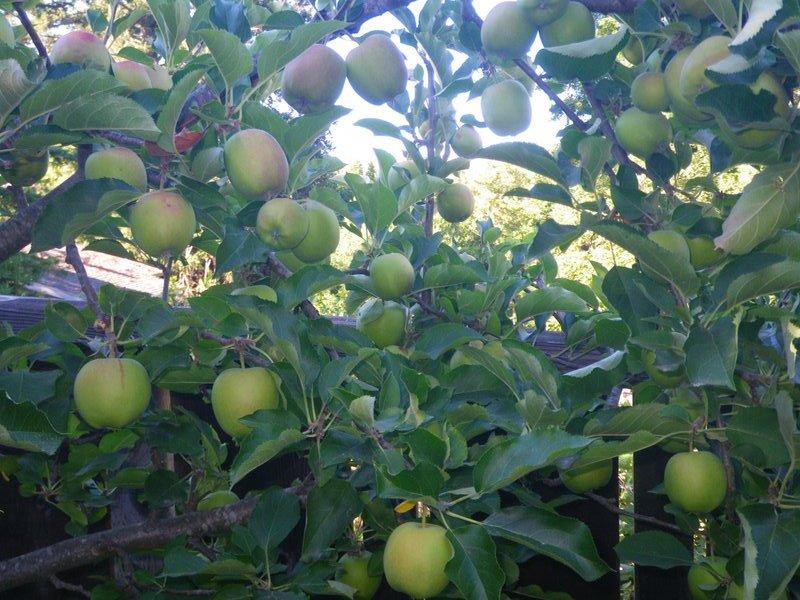 This apple tree has 4 varieties of apples