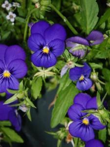 Blue violas