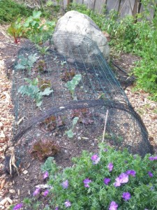 Wire and bird netting protect vegetables