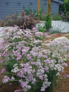 Yarrow in the edible landscape