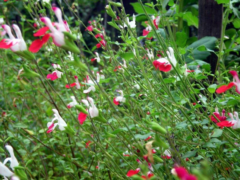 Salvia is a sage