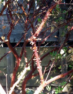 Close up of the bark of the Manzanita
