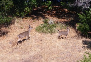 The deer that love to eat our food