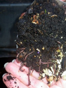 Worms in the compost
