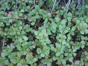 A thick ground cover keeps the weeds out