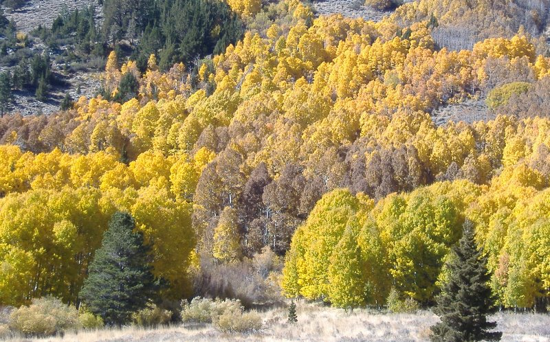 Autumn leaf color in the Sierra Nevada mountains