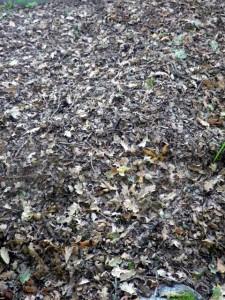 Huge pile of oak leaves