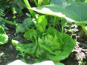 A shady spot for lettuce