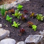Lettuce seedlings can be planted in winter