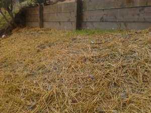 Seeds germinating through straw mulch