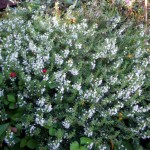 winter savory - Satureja montana