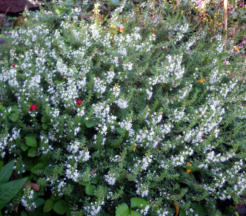 winter savory - Satureja montana