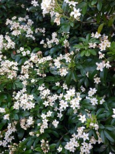 Mexican Mock Orange - winter bloom