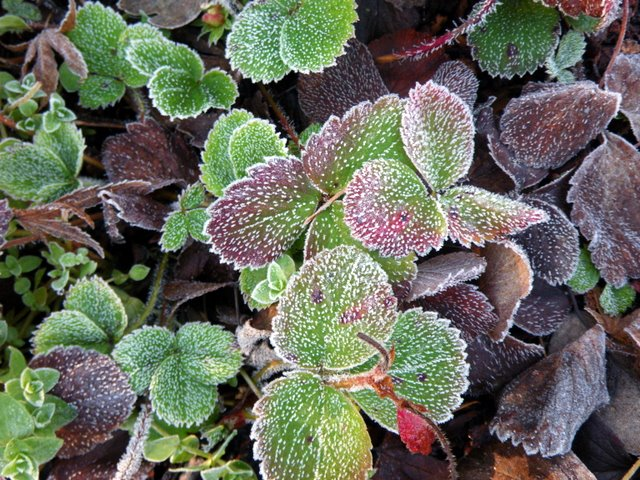 Frost on strawberries