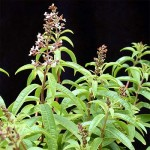 Lemon Verbena in flower