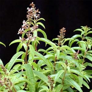 Lemon Verbena in flower