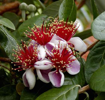 Edible blossoms from the pineapple guava