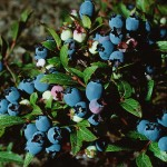blueberris grow in many climates and are beautiful, delicious and healthy