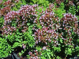 Oreganum vulgare hirtum