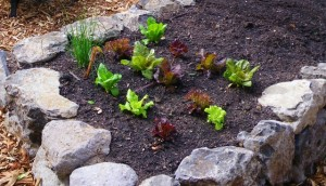 Baby lettuce in raised bed
