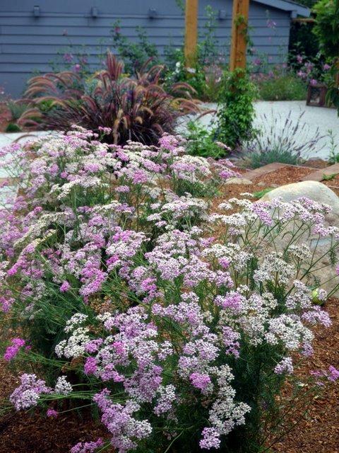 Pink Yarrow - Achillea millefolium