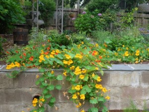 Nasturtiums cascading over wall