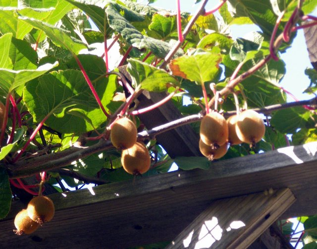 Kiwi Fruit on trellis