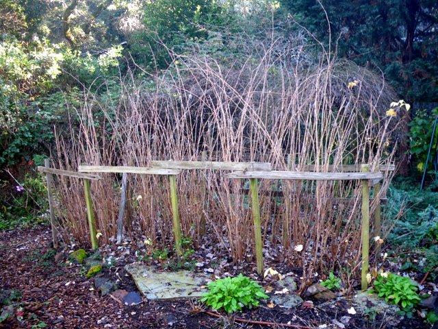 dormant raspberry canes