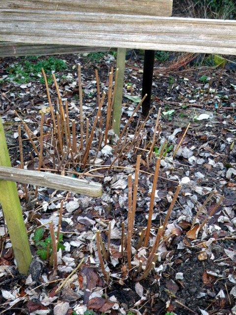 Raspberry canes, pruned and thinned