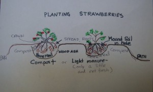 Description on strawberry planting