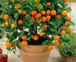 Mandarin orange in a container