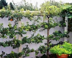 A small space is fine for an espalier fruit tree