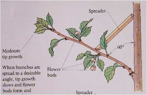 Fruit tree pruning angle