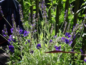 Lavender and violas