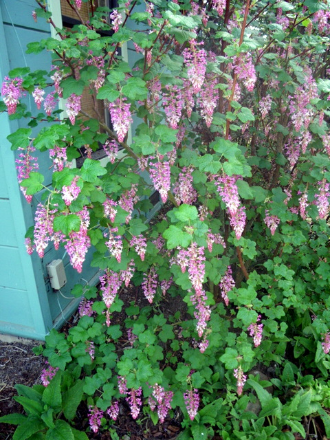 Flowering currant edible landscaping made easy with avis licht pink flowering currant mightylinksfo