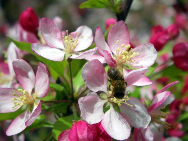Early blooming tree, the Crab Apple encourages bees to come to the garden