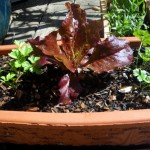 Lettuce and parsley in a pot