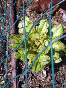 Lettuce protected by wire and bird netting