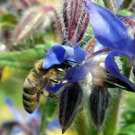 Plants for the Bees - Bring health and happiness to your garden