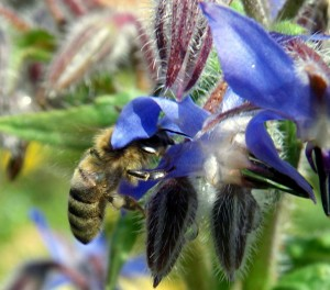 Honey bee in borage