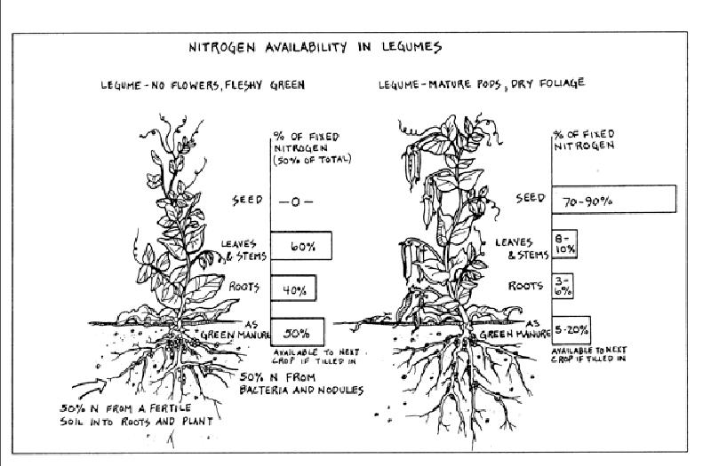 Nitrogen in legumes