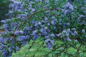 California lilac
