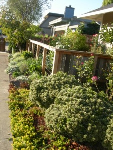 side view of the edible front yard