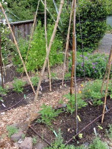 Bamboo poles for staking tomatoes