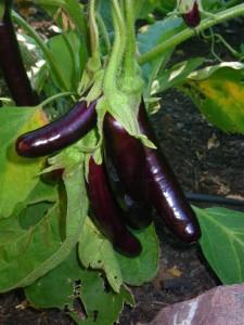 Japanese eggplant