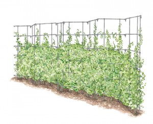 pea fences