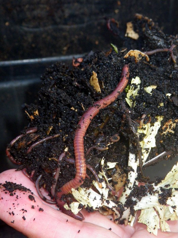 Earthworms galore