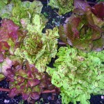 Lettuce with drip irrigation